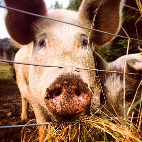 Animal Animal Body Part Animal Head  Animal Nose Animal Themes Brown Close-up Cow Day Field Focus On Foreground Grass Grassy Herbivorous Livestock Mammal Nature No People Outdoors Pig Portrait Rural Scene Selective Focus Snout
