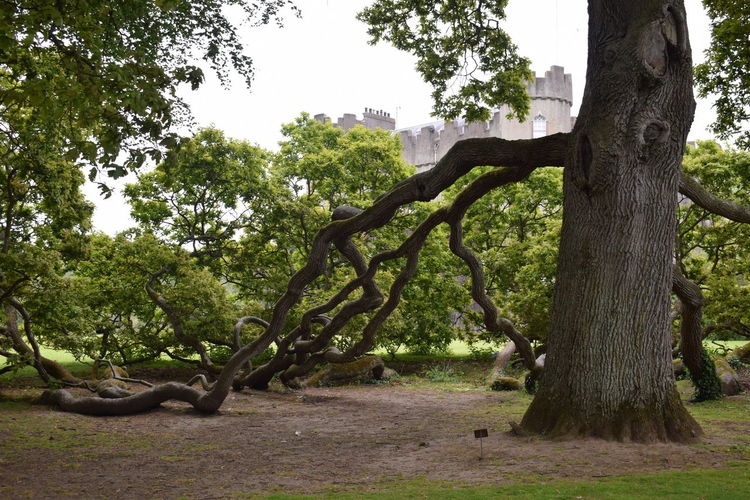Extraordinary tree in Ireland Castle Dublin Ireland Old Tree Beauty In Nature Day Field Forest Grass Green Color Growth Landscape Nature No People Outdoors Park Plant Sky Special Tranquil Scene Tranquility Tree Tree Trunk Trunk