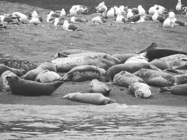 Animals In The Wild Nature Beach No People Sea Mammal Animal Wildlife Beauty In Nature Outdoors Animal Themes Relaxation Day Aquatic Mammal Large Group Of Animals Sea Life Mouth Of The River Sea Gulls Standing On Beach Seals On Beach Water EyeEm Selects Sommergefühle Bird Colony Flock Of Birds Togetherness