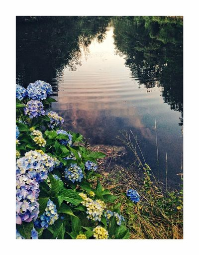 Very le bleu Plant Water Auto Post Production Filter Growth Nature Transfer Print No People Day Reflection Flower Beauty In Nature Flowering Plant Outdoors Tranquility Lake