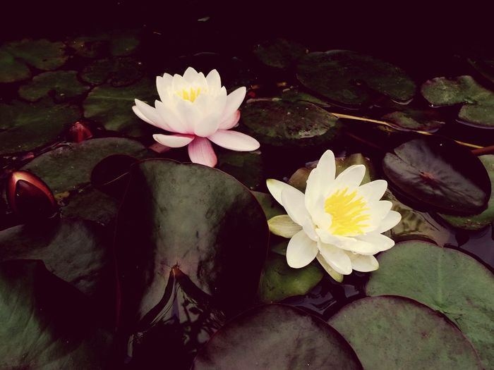Water Lilly's