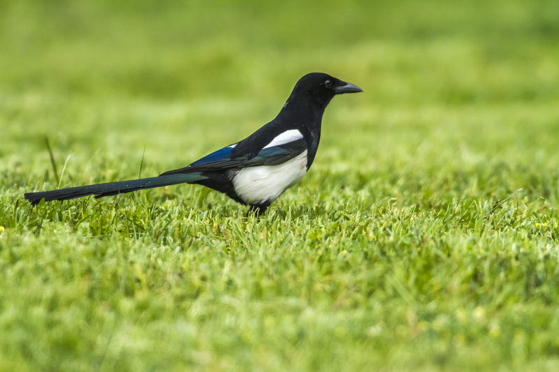 An eurasian magpie is searching for fodder Nature Songbird  Animals Bird Birds Birds Liofe Birds World Claw Craws Eurasian Magpie Feather  Grassfield Landscape Magpies Meadow Outdoors Pica Pica Plumage Singing Bird