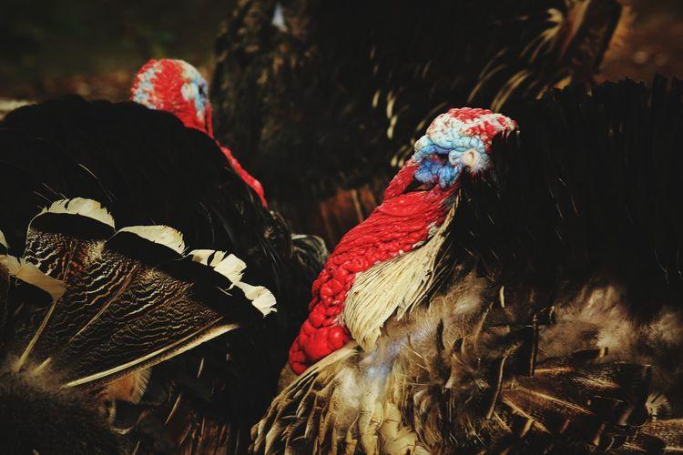 Turkey Turkeyphotooftheday Turkey - Bird EyeEm Best Shots EyeEm Selects EyeEm Gallery EyeEm Bird Multi Colored Close-up Livestock