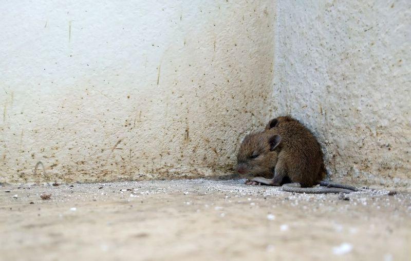 หนูหนาว 😯 Cool Hedgehog Sand Animal Themes Close-up Rat