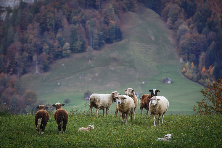 Sheep on grassy field against mountain
