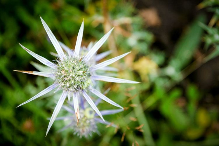 Nature Beauty In Nature Fragility Close-up Outdoors Plant No People Flower Flower Head Day Freshness Dandelion Seed Growth Star Flower Wild Flowers Focus On Foreground Flowers Nature EyeEm Gallery Check This Out Macro Photography Macro