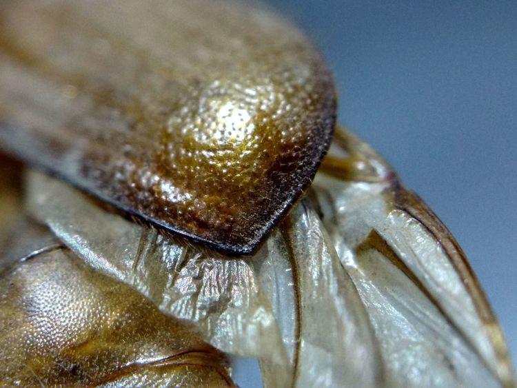 June Bug Scarab Beetle Bugs Insects  Macro Macrophotography