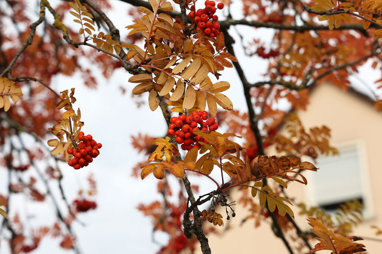Close-up of berries growing on tree during autumn