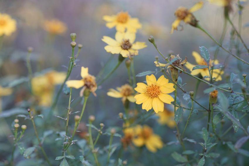 Marigold Tagetes Tagetes Lemonii Dreaming Herb Garden Peaceful Quiet Moments Flower Yellow Flower Saitama Micronikkor Micronikkor105mmf2.8 105mm SONY A7ii Masako201711