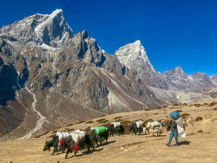 Everest Base Camp Trek - Yak caravan and porter near Dingboche Himalayas Yak Domestic Animals Landscape Livestock Mountain Mountain Range Snowcapped Mountain
