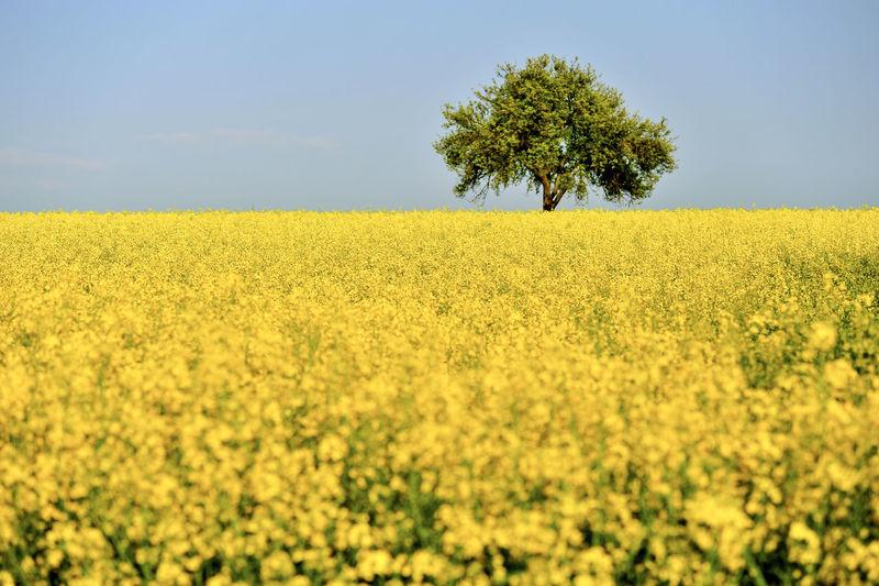 Oilseed rape field against sky