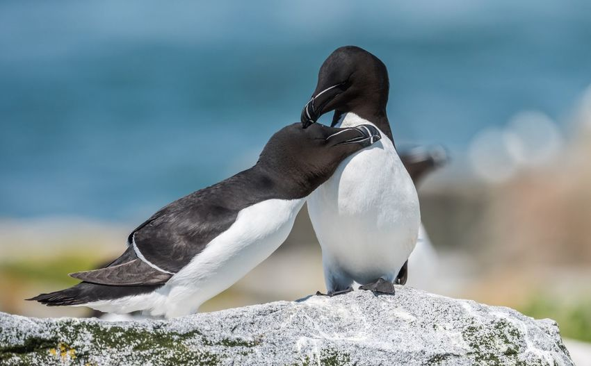 Razorbills on Machias Seal Island in Maine Maine Razorbill Animal Wildlife Animal Themes Animals In The Wild Animal Bird Vertebrate Rock Rock - Object Two Animals Nature Focus On Foreground Group Of Animals Penguin No People Solid Day Outdoors Water Full Length