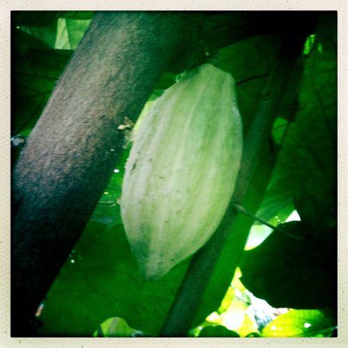 Aux origine du chocolat Cacaoyer Cacao Chocolat