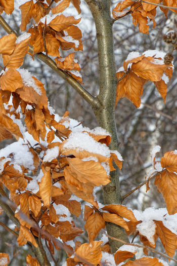 Close-up of maple leaves on tree during winter