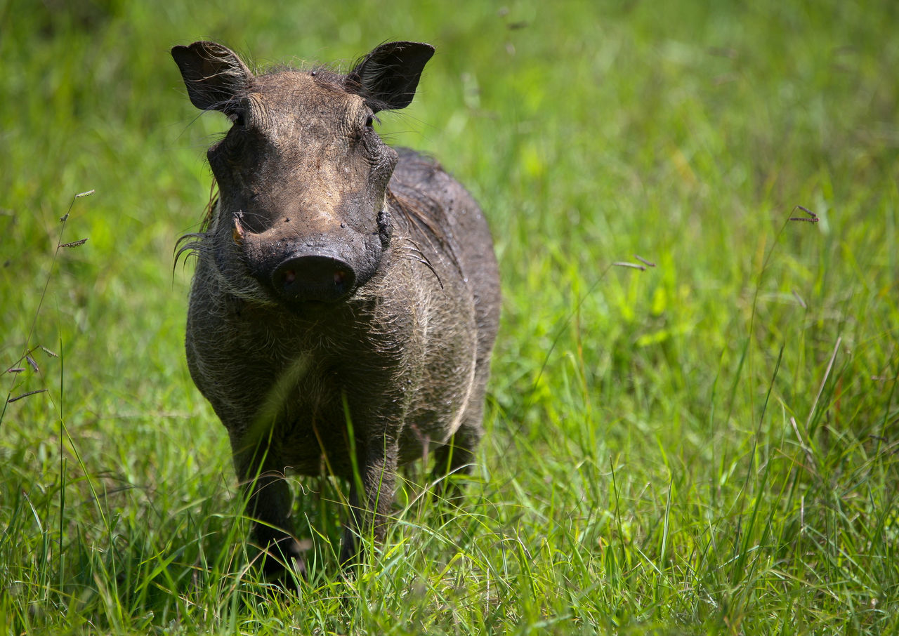 Close-Up Of Warthog On Grassy Field