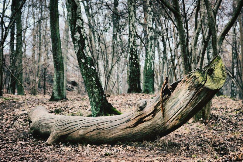 Ancient croc? Crocodile Wood Trees Walking Around