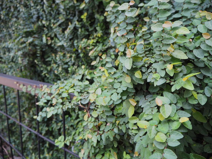 Close-up of ivy growing on tree