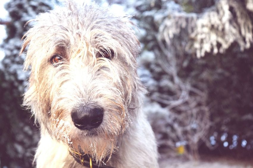 One Animal Animal Themes Looking At Camera Portrait Focus On Foreground Domestic Animals Outdoors Dog Of The Day Dogwalk Dogslife Dogs Of EyeEm Irish Wolfhound Cearnaigh Autumn 2016 How's The Weather Today December 2016 Showcase December How's The Weather Today? It Is Cold Outside The Places ı've Been Today In My Garden Winter Is Coming... First Touch Of Winter Winter Frost