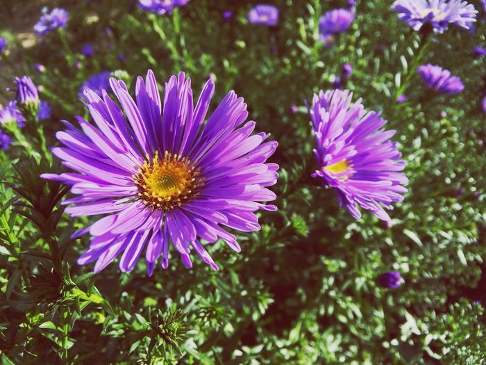 New England aster sun bathing Beauty In Nature Macro Photography Macro Joyful Sunbathing Greenery Flower Flowering Plant Freshness Plant Beauty In Nature Petal Fragility Growth Flower Head Close-up Purple Nature Pollen Day No People Focus On Foreground Pink Color Outdoors EyeEmNewHere