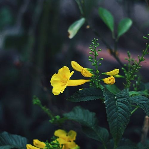 | 🍃 🌻 🍃 ☝ | Y e l l o w F l o w e r VSCO Vscocam Vscovietnam Vscoflowers Flower Vietnam Hometown Streetphotography Street Country Countryside Trees Green Yellow Fresh Plant Morning Road Love Cool Photooftheday Photos Tb View Ontheroad nature fresh instadaily instagood instamood
