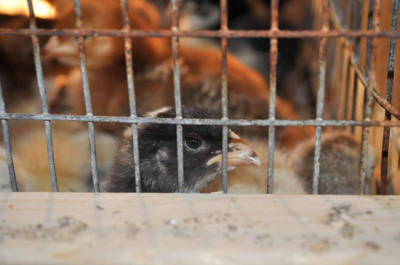 Baby Chicken Chick in a Cage Baby Chicken Farm Animal Themes Animal Wildlife Animals In Captivity Bird Cage Chick Close-up Food Indoors  Mammal Nature No People One Animal Trapped Young Animal