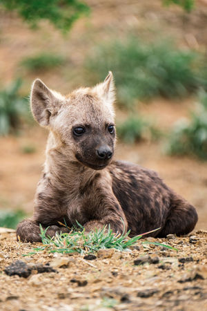Hyena Cub Hyena Hyena Cub Wildlife & Nature Wildlife Photography Animal Wildlife Animals In The Wild Nature One Animal Outdoors Portrait Wildlife Young Animal
