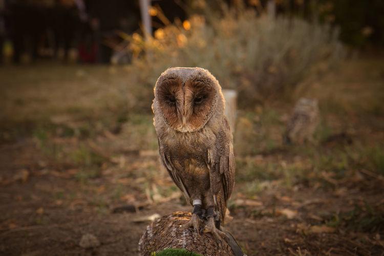 Portrait of owl perching on tree trunk