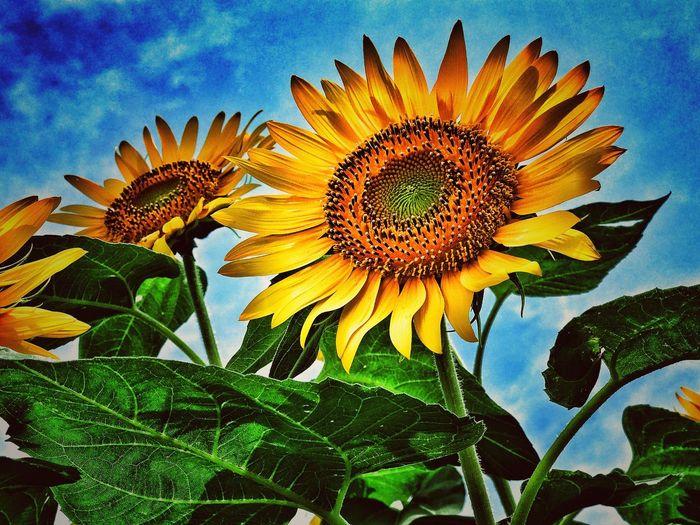 座間市ひまわり畑 2017ひまわりまつり栗原会場の一コマ for iPhone Kanagawa Japan ひまわり 向日葵 Flower Sanflower Beauty In Nature Nature IPhoneography