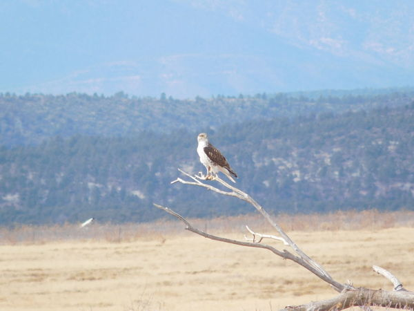 Ferruginous Hawk Northern New Mexico Jan 2018 Ferruginous Hawk Hawk Animal Themes Animal Wildlife Animals In The Wild Beauty In Nature Bird Bird Of Prey Day Flying Landscape Nature No People One Animal Outdoors Sky