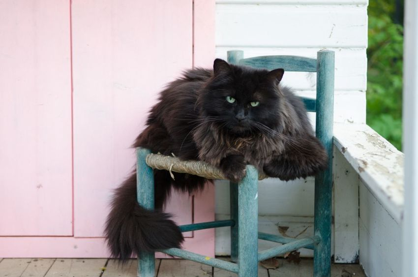 Animal Themes One Animal Pets Domestic Animals Domestic Cat Mammal Looking At Camera Feline Black Cat Cat Day Whisker Zoology Animal Hair No People Angora
