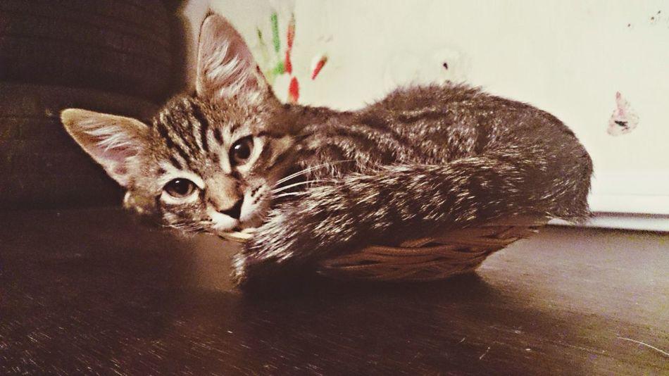 Cat In The Basket Catcatcat Kitten