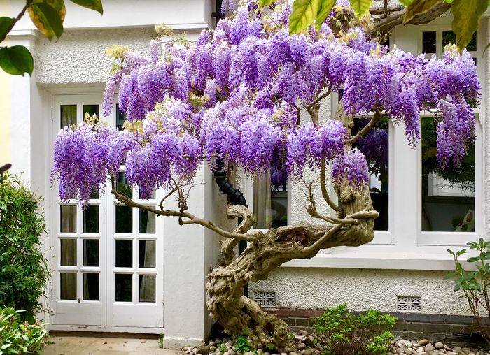 Purple flowers hanging on plant outside house