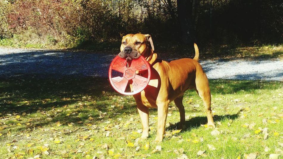 My dog cracks me up. Enjoying Life Kaos' Life Pitbull Love