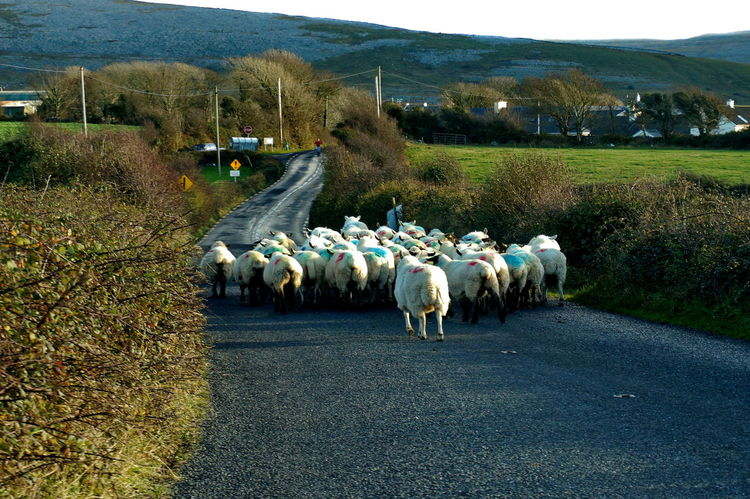 Ireland🍀 NEX-5T Animal Themes Beauty In Nature Day Domestic Animals Flock Of Sheep Grazing Landscape Large Group Of Animals Livestock Mammal Nature No People Outdoors Road Sheep Sheep🐑 Sony Tree