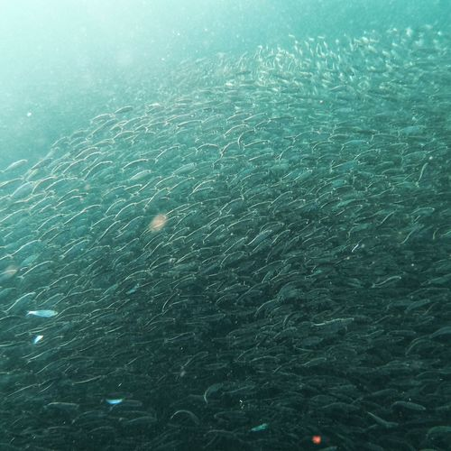 Sardines in Moalboal , Philipines Sardines Sardines Water Sea Beauty In Nature No People Day Nature Tranquility Scenics - Nature UnderSea Motion Sea Life Marine Outdoors The Traveler - 2019 EyeEm Awards The Great Outdoors - 2019 EyeEm Awards