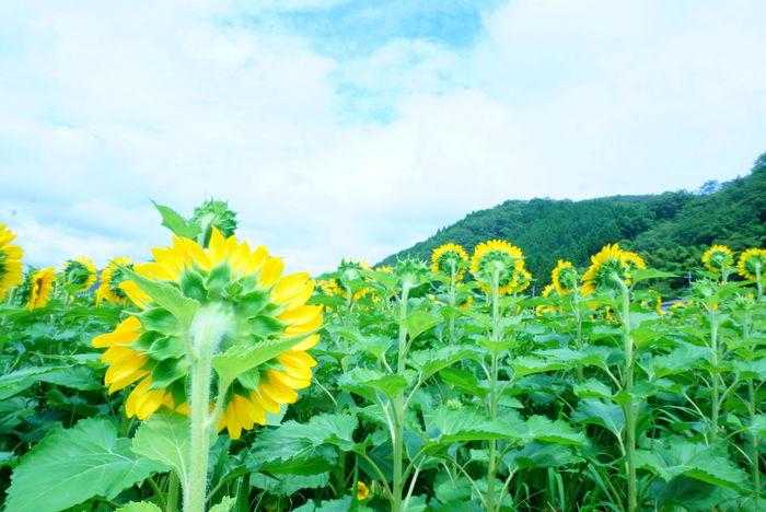 Flowers Sunflower Backstyle