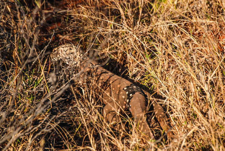 Goanna in the bush - in Western Australia Australia Australian Outback Australian Bushland Capture The Moment Goanna Lizard Travel Trip Western Australia Western Australia Wildlife Adventure Animal Wildlife Animals In The Wild Australia & Travel Australian Wildlife Bush Wildlife Cape Range National Park Discovery Explore Explore Nature Hidden Nature No People Outdoors Wildlife