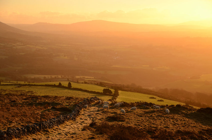 Agriculture Early In The Morning Hill Farming Hilltop View Livestock Orange Haze Outdoors Ovine
