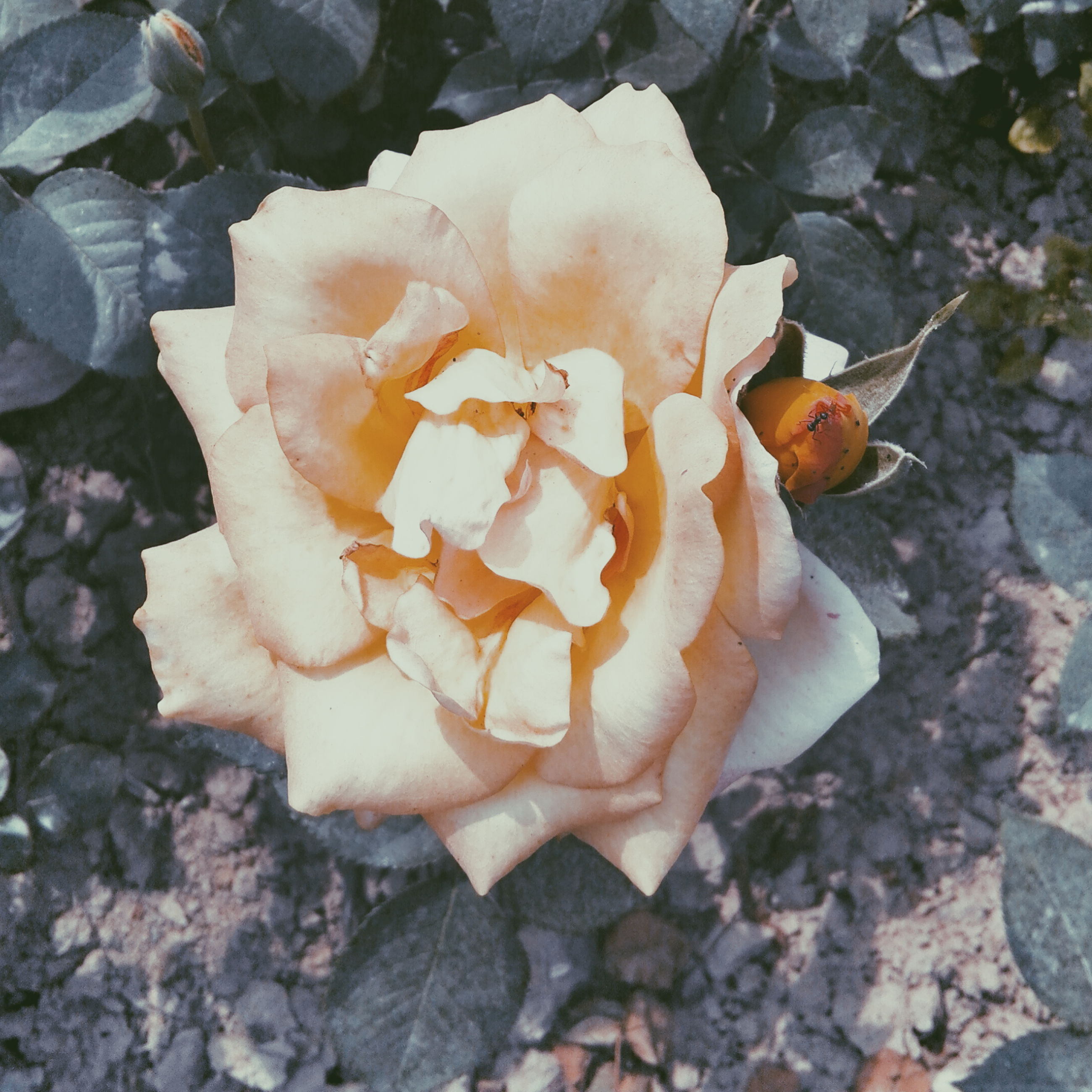 fragility, flower, petal, freshness, fungus, mushroom, close-up, flower head, nature, beauty in nature, growth, single flower, high angle view, day, outdoors, focus on foreground, rose - flower, no people, blooming, orange color