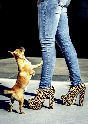 Some Dog and some Leopard . HighHeels Fashion Chihuahualovers Dogs Dog Portrait Chihuahua Classy Girl Footwear
