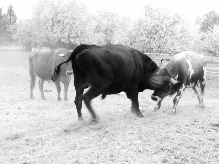 Testosterone Bull... Black And White Monochrome Animal Domestic Animals Agriculture Livestock Animal Themes Field Mammal Full Length Outdoors No People Rural Scene Day Farm Animal Liv'n The Dream Bulls Cows Farm Animals Pets Of Eyeem Action Shot  Action Dusty Fearless Fearlessness Black And White Friday