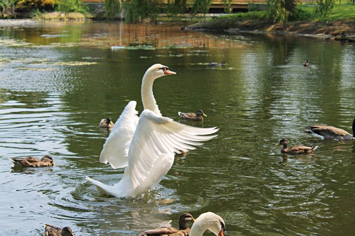 Animal Themes Animal Wildlife Animals In The Wild Bird Day Lake Nature No People Outdoors Spread Wings Swan Swimming Toronto Islands Water Water Bird