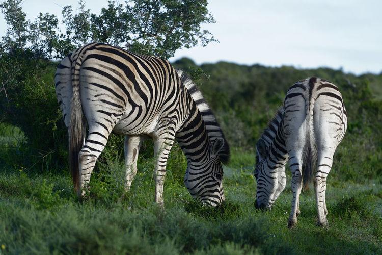 Zebras on field against sky