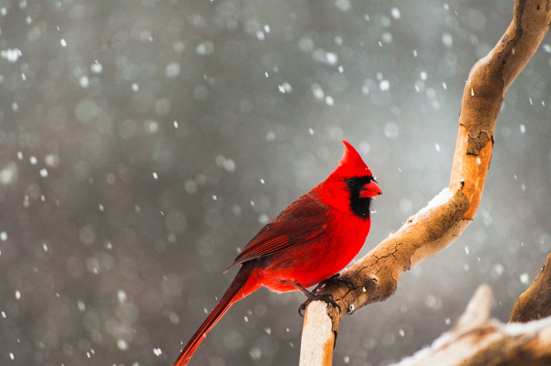 Close-up of a male cardinal perched on a branch during a snow storm