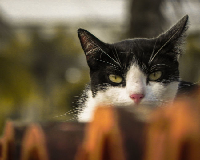 Portrait Photography Cat Photography Eye Feline Domestic Cat Looking At Camera Close-up Cat Animal Eye Animal Head  Animal Face Adult Animal