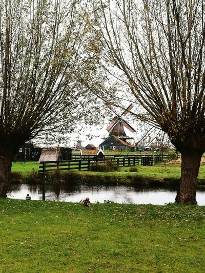 Nature Landscape Grass Zaanse Schans Zaanseschans Zaanse Schans Postcards Zaanseschanswindmill Zaanse Schanse Zaanse_schans Amsterdam Amsterdamcity Countryside Europe First Eyeem Photo