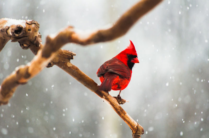 Animal Themes Red Animal Snow Winter Vertebrate Cold Temperature Bird Nature Group Of Animals Focus On Foreground Day Pets Branch Tree Two Animals Outdoors Animal Wildlife Perching Snowing Cardinal - Bird