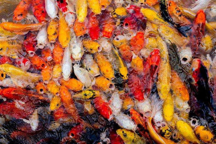 Full frame shot of koi fish in sea
