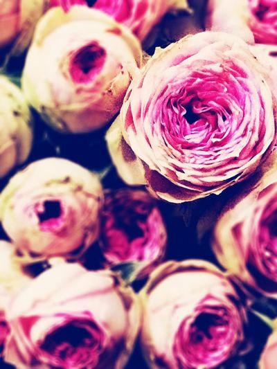 ミミエデン EyeEm Flower Flower Plants IPhoneography Rosé Flowers