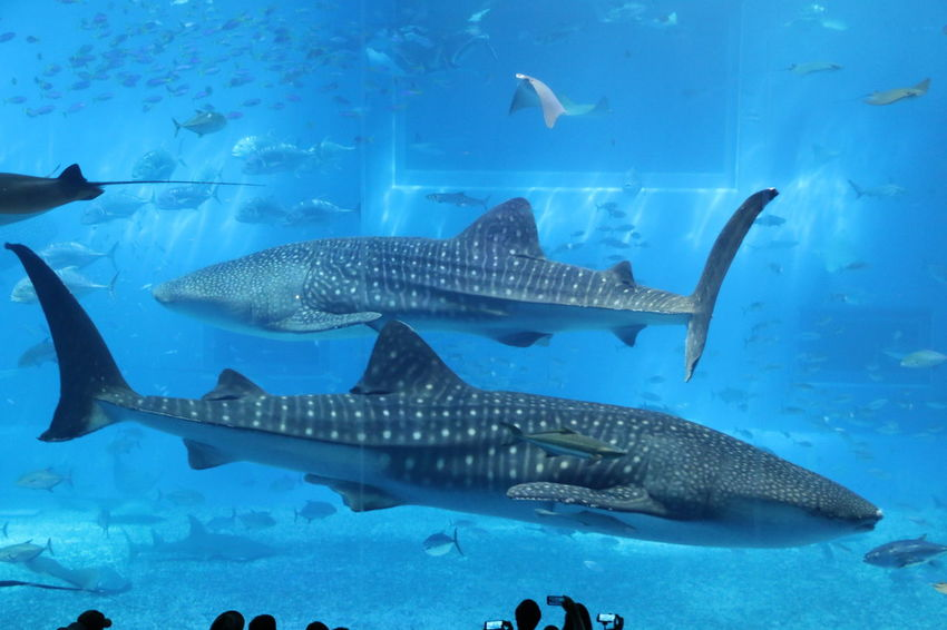 Animal Themes Animals In The Wild Aquarium Beauty In Nature Blue Day Fish Indoors  Large Group Of Animals Nature No People Sea Sea Life Shark Swimming UnderSea Underwater Water Whale Shark